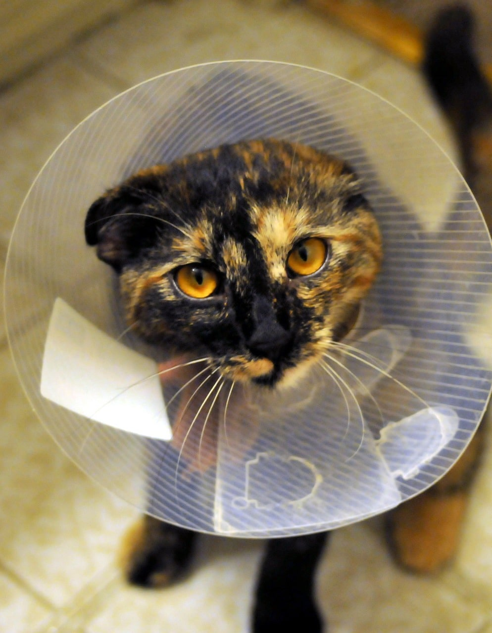 Cat after surgery